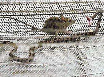 Мышь напала на змею