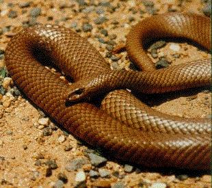 Австралийская коричневая змея поселилась в принтере