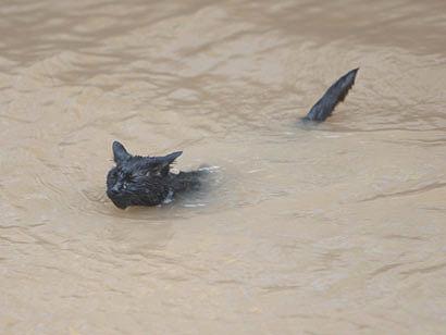 Эта кошка - полноправный член клуба пловцов