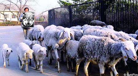 Новая пастушеская технология: картинка с волком вместо живой собаки