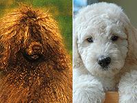 Португальская водяная собака или лабродудель?