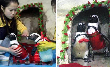 Церемония бракосочетания пингвинов