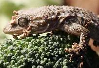 Путешественник в капусте - ящерица геккон Тенко