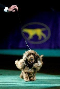 Сассекс-спаниэль Стамп - победитель Вестминстер Кеннел Клаб дог шоу 2009 (AP Photo/Seth Wenig)