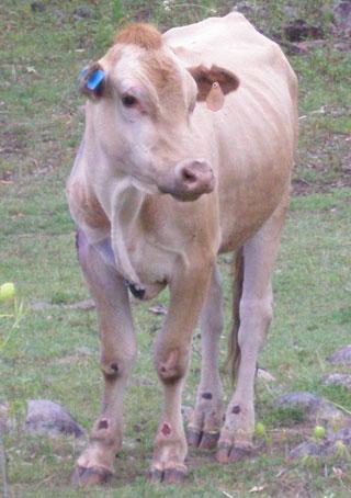 Корова пережила удар молнии