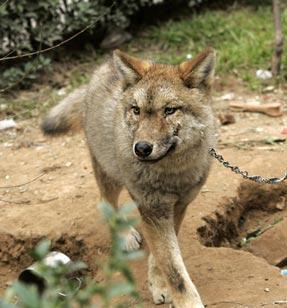 Эта собака на самом деле волк
