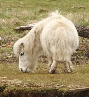 Коротконогий пони из Саутгемптона